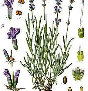 Semences & Graines de Lavande et autres Fleurs